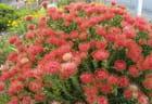 Darwinias roses