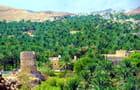 Dattiers dans le Djebel Akhdar