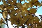 Dernières feuilles de cognassier