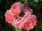 Dernières roses de la saison