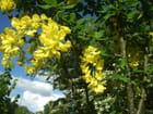 Des fleurs d'acacia jaune