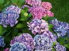 Des hortensias du jardin du mois d'août 2014