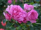 Des roses anciennes