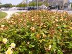 Des roses par millier