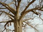Des ruches dans le baobab