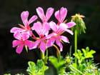 Détail de Fleur de Géranium
