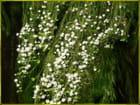 Détail des fleurs (Juliane)