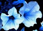 Deux fleurs bleues