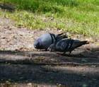 Deux pigeons s'aimaient d'amour tendre.........