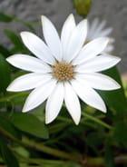 Dimorphotéca blanche