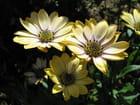 Dimorphotécas jaunes