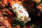 Doris dalmatien à 30 m de profondeur