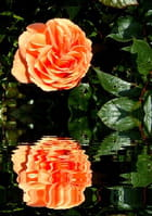 Double rose
