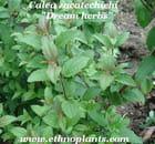 Plante ethnobotanique, Calea zacatechichi