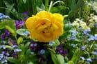 Du bleu et du jaune dans le jardin