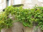 Du raisin sur les murs