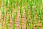 Du riz soigneusement repiqué
