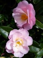 Duo de fleurs de camélia