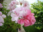 Duo rose sur géranium