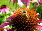 Echinacea Purpurea et Abeille 1