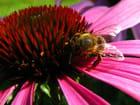 Echinacea Purpurea et Abeille 2