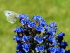 Echium et papillon