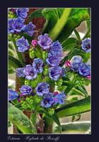 Echium 'Hybride de Roscoff' 2