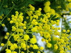 Eclosion des mimosas