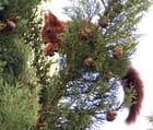 Ecureuil à Le Poinçonnet