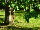 Ecureuil dans cerisier