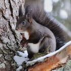 Écureuil en hivers