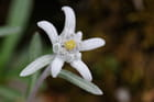 Edelweiss dans les Alpes