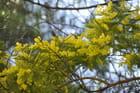 En janvier, on apprécie le soleil végétal : le mimosa