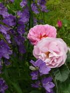 En rose et violet