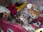 Entre chat et tigre