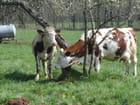 Entre vaches