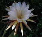 Epiphyllum blanc
