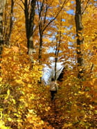 Érables d'automne