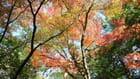 Erables d'automne