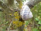 Escargot au repos