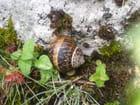 Escargot discret