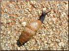 Escargot Sicilien