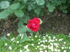 Et ce matin, une rose
