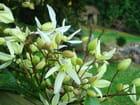 Etoiles en fleur