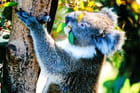Eucalyptus et koala...