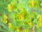 Euphorbe petit cyprès