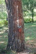 exploitation des pins