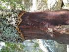 Exploitation du chêne liège.