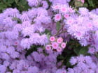 Explosion de violet