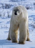 Face à l'ours